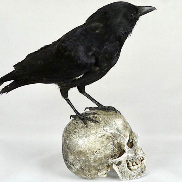 Corbeau sur un crâne (profil 1)