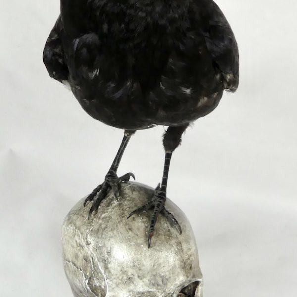 Corbeau sur un crâne (dessus)