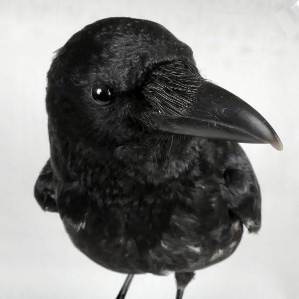 Corbeau sur un crâne (détail)