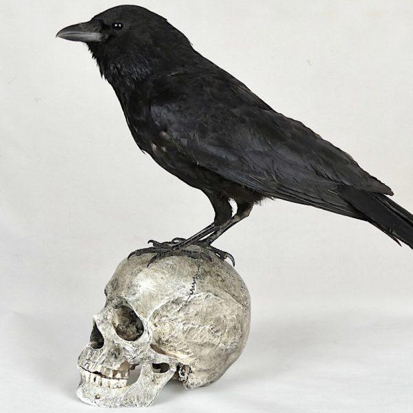 Corbeau sur un crâne (profil 2)