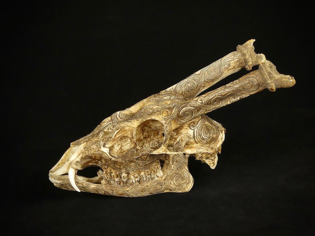 Crâne de Munttjac (profil)